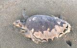 تصاویر: مرگ دستهجمعی لاکپشتهای دریایی